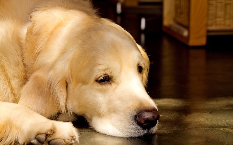 写真:地面に顔をおいている眠たそうなゴールデン レトリーバー