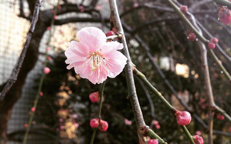 写真:梅の花に雨つゆがついている