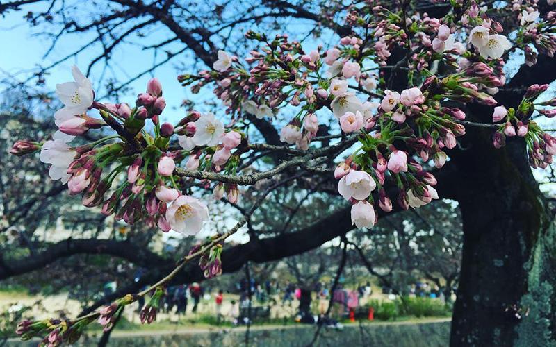 写真:桜の咲き始め