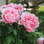 石光寺の春ぼたんが見頃、GWにはアメリカ芍薬も見頃に。