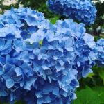 雨と紫陽花と。夙川公園の紫陽花2018