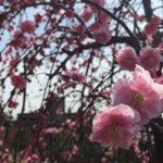 岡本梅祭り2019