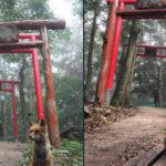 狐・稲荷神社・霧の奇跡的なコラボ!